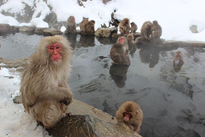 snow-monkeys-1394883__480