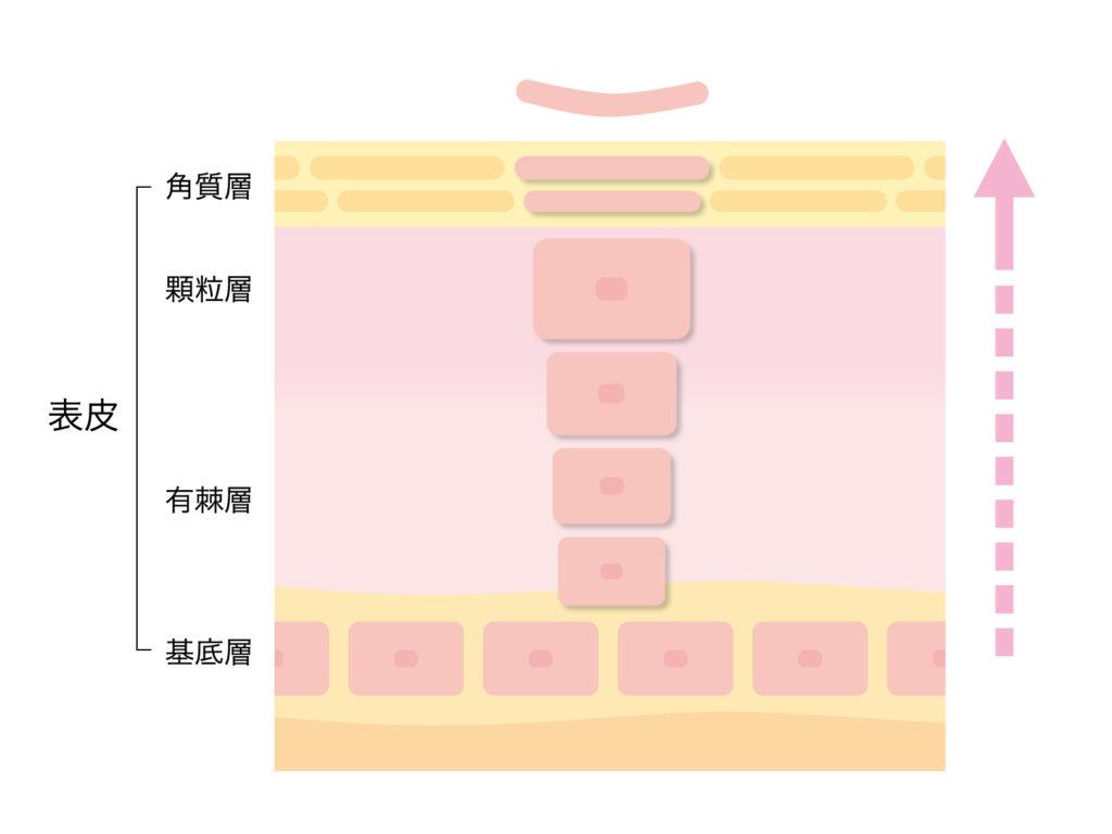 クラウンセルクリーム 肌のバリア層図